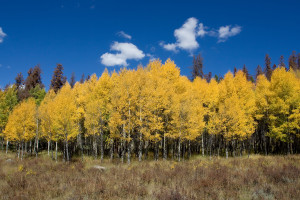 Colorado Aspen Trees in Autumn